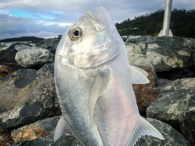 fish caught on the airlie beach rock wall
